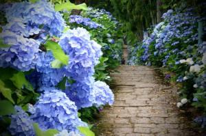 出塩文殊堂の紫陽花