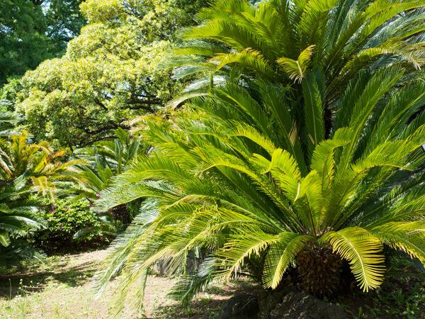 小石川植物園,ソテツ