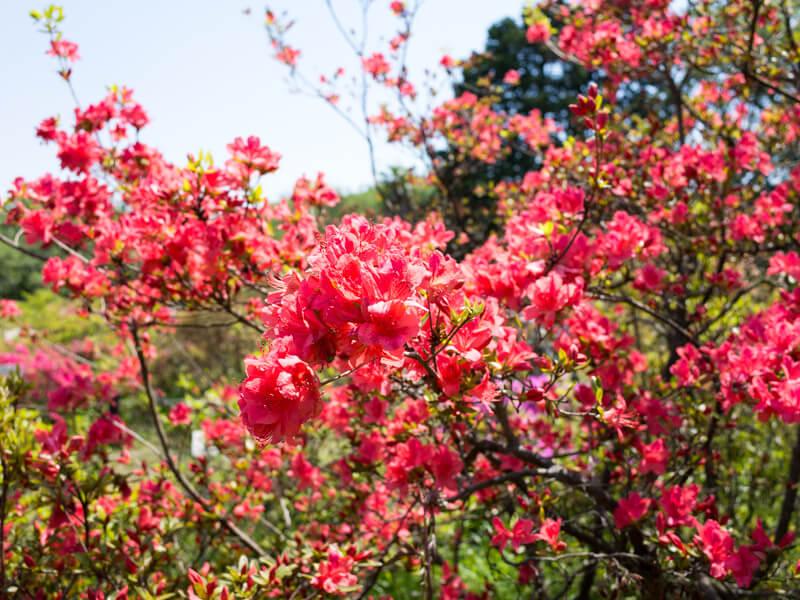 小石川植物園,ツツジ