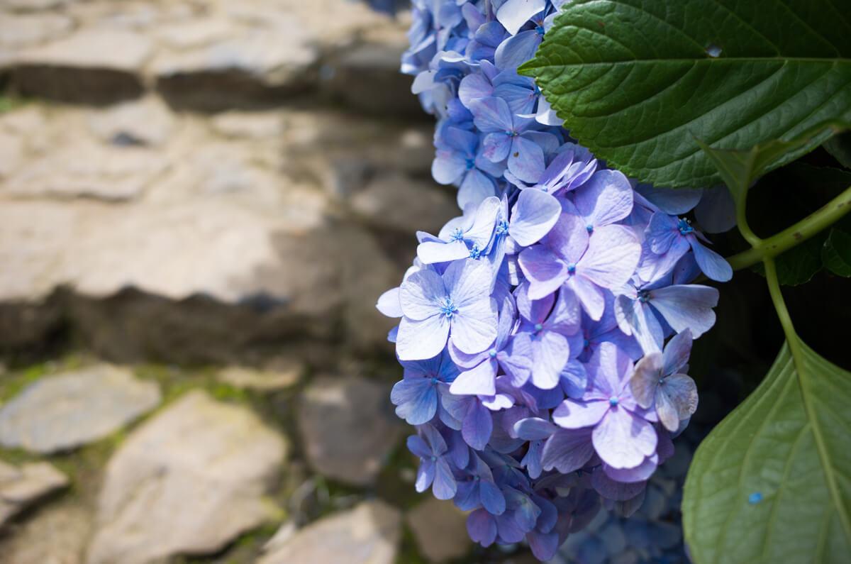 紫陽花と石段